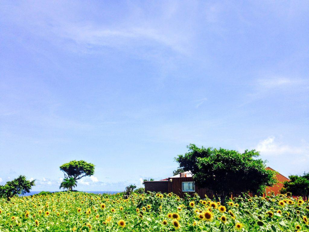 カフェくるくまひまわり畑2