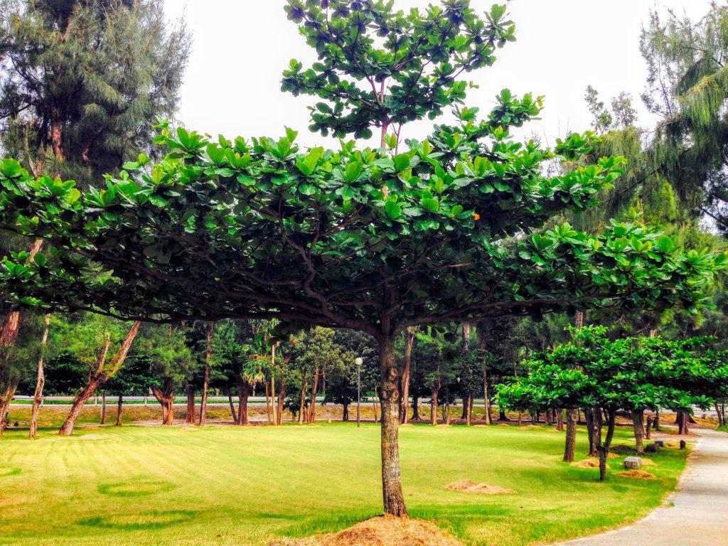 とかしくビーチ近くの公園の木
